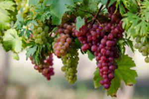 Садівникам та виноградарям: алгоритм одержання держпідтримки (покроково)