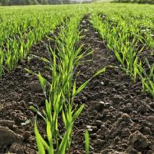 В області намолотили 1,4 млн тонн кукурудзи