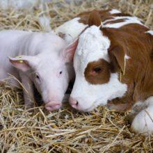Про підсумки роботи господарств у галузі тваринництва на Черкащині за 2020 рік