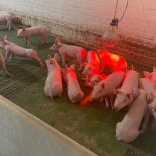 У селі Яснозір'я Черкаського району успішно займаються розведенням свиней, а також вирощуванням зернових