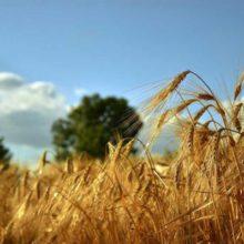 Цьогорічний врожай ранніх зернових є рекордним за всю історію України, — Роман Лещенко